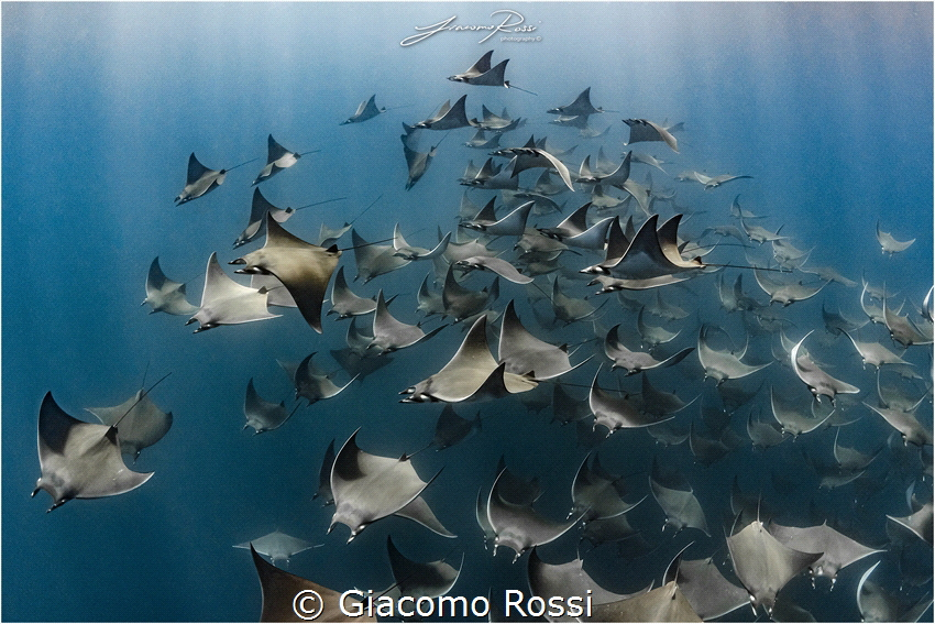 Diving inside a school of Mobulas Munkianas is something ... by Giacomo Rossi