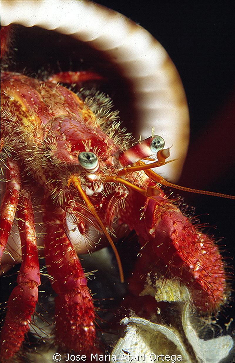 Hermit crab Dardanus calidus Shotting with film Fuji Pro... by Jose Maria Abad Ortega
