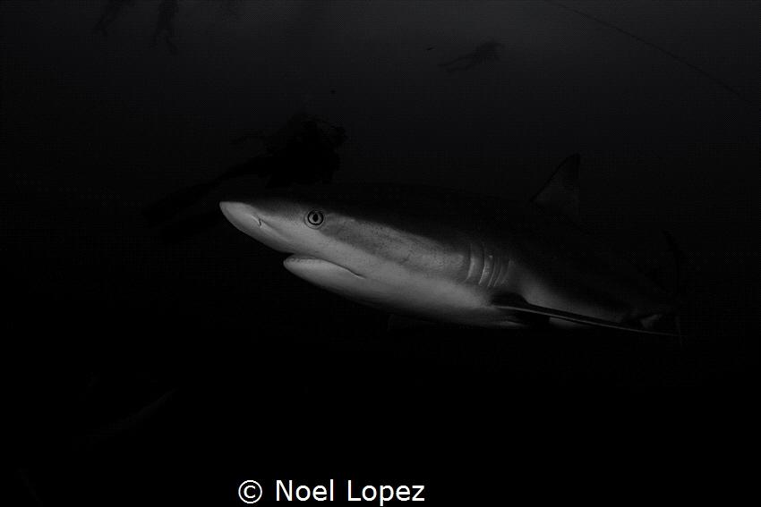 caribean reef shark, canon EOS 60D, tokina lens 10-17mm a... by Noel Lopez