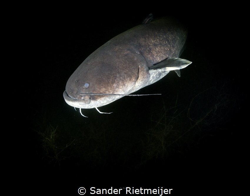 Big Catfish shows up in the darkness by Sander Rietmeijer
