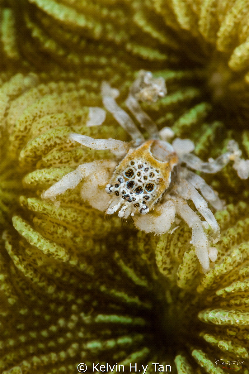 Tiny jumping spider crab by Kelvin H.y Tan