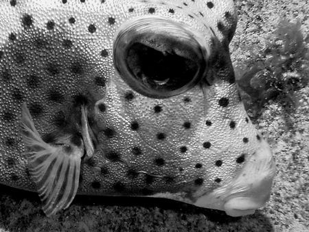 Trunkfish at night. Can see texture of skin, due to obliq... by David Heidemann