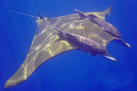 mobular ray at 2 meters useing a sony cyber-shot by Trevor Smith