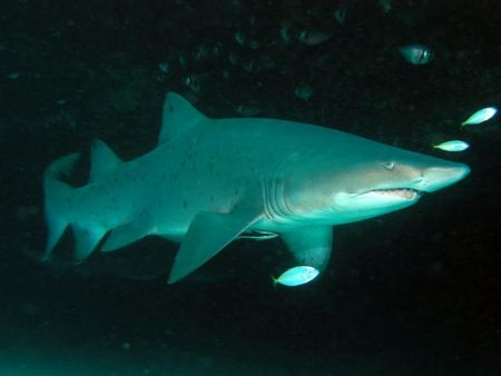 Grey Nurse Shark Magic Point by Peter Simpson