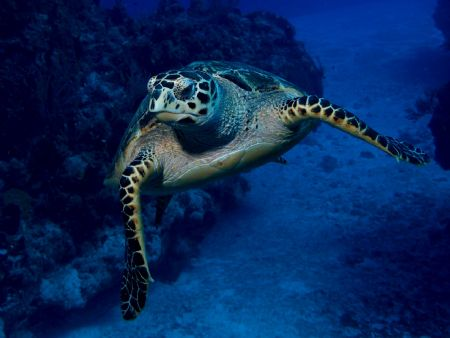 Sea Turtle, just about crashing into Camera housing dome. by Holly Heffner