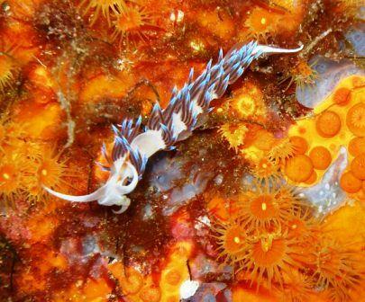 Nudibranch - Costa Smeralda, Sardinia - Italy by Richard Paczan