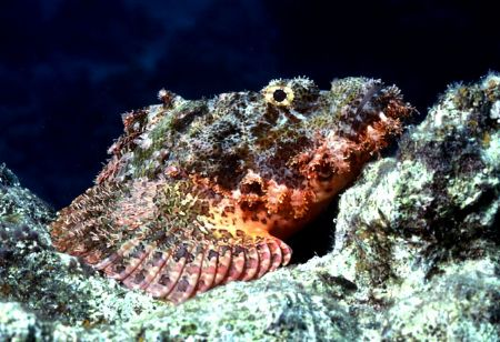'WAITING' Scorpion fish in a common pose. Another mug sho... by Rick Tegeler