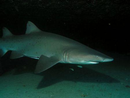 Grey Nurse Shark, Taken at Magic Point Sydney by Peter Simpson