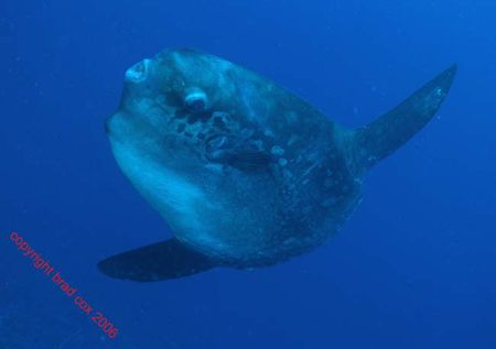 Wierd ..... The MOLA MOLA Nusa Penida BALI Olympus 7070 I... by Brad Cox 
