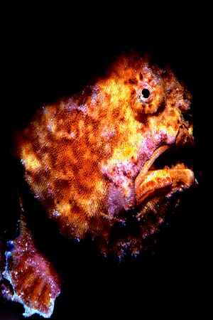 Frog fish characture with Nikonos V and strobe. by Bob Martin