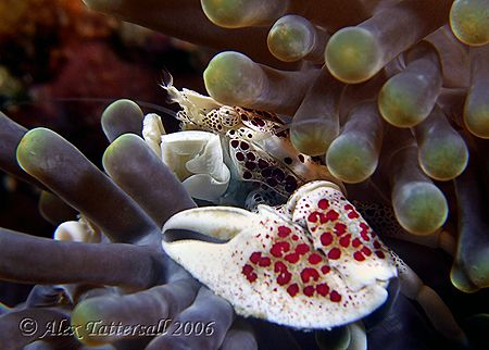 Porcelain crab... e900 by Alex Tattersall