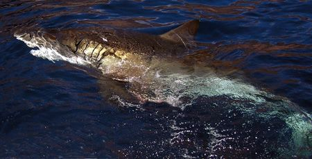 Great White Surfacing. Shot morning of November 12th aboa... by William Buchheit