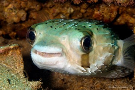 Happy looking balloonfish. Very common in the Sea of Cortez. by Kurt Schurenberg