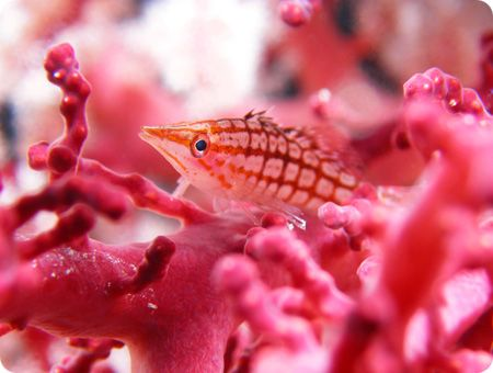 Longnose Hawkfish at Big Drop-off in Palau. by Yorko Summer