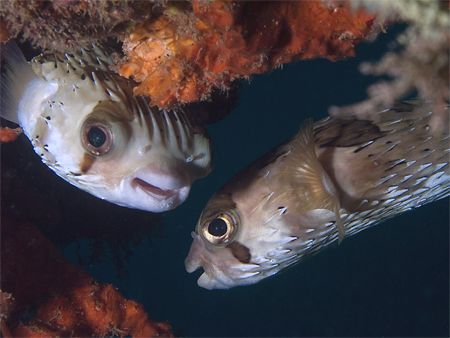 Gossiping Balloonfishes in La Paz (Sea of Cortez). Taken ... by Susan Lunn
