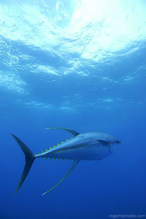 Yellow fin tuna crusing 50km out to sea of Cape Point, Ca... by Roger Horrocks
