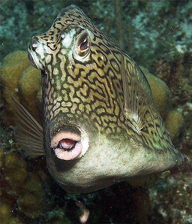 Kiss, kiss. Natural demeanor of the Honeycomb Cowfish. Ta... by Susan Lunn