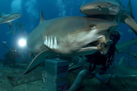 Caribbean reef shark captured during Stuart Cove;s Shark ... by Sally Thomson