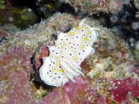 Chromodoris geminus from the southern red sea by David Thompson