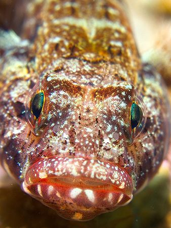 Gobius cruentatus. A close portrait. E900, D2000 and a ma... by Mikel Cortes