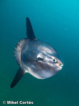 Mola mola. Here, in the Bay of Biscay, we can see them re... by Mikel Cortes