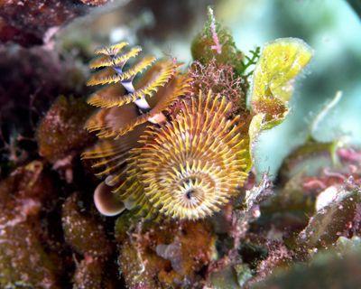Christmas Tree Worms just hanging out - olympus 8080 - na... by Tim Higgs 