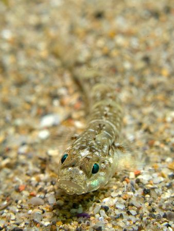 Pomatoschistus microps or Sand gobi. Bermeo, Bay of Bisca... by Mikel Cortes