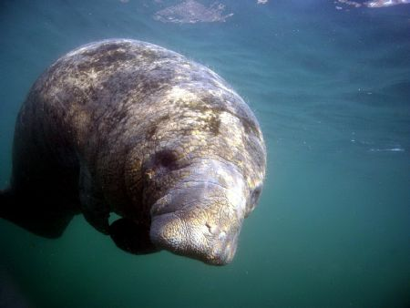 Calf manatee @ Crystal River, Florida. by Steve Kuo