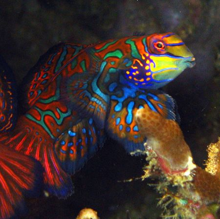 Pucker up buttercup!! Mandarinfish in Malapascua, Philipp... by Jason Campbell