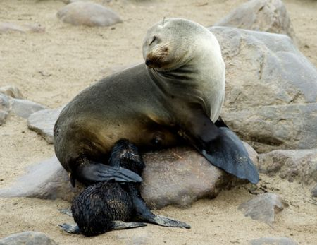 Cape fur seal and pup, Cape Cross, Namibia. 2007. by Chris Wildblood