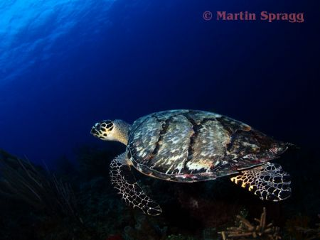Hawksbill turtle on the wall at South Water Cay Belize by Martin Spragg