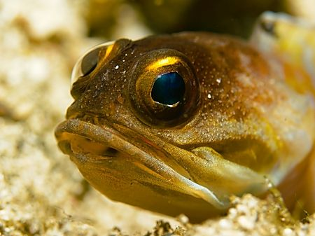Jawfish at Tanjung Kelapa. It was a very patient model. by Thomas Roesler