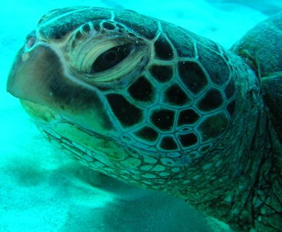 turtle. off waikiki. by Elizabeth Chase