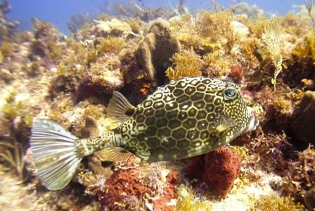 A trunkfish at the Horseshoe reef in Cancun. by Kenn Bolbjerg