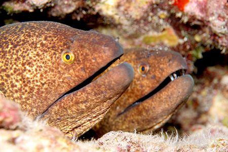 A Pair of Yellow Margin Morays. Taken with Canon 20D w/6... by Stuart Ganz
