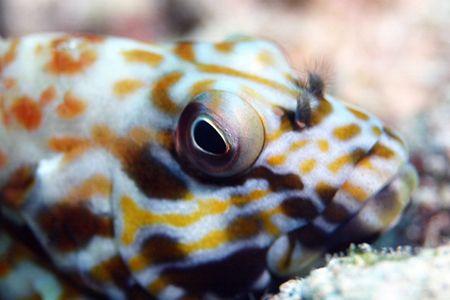 Stocky Hawkfish - 100mm macro Hawaii by Glenn Poulain