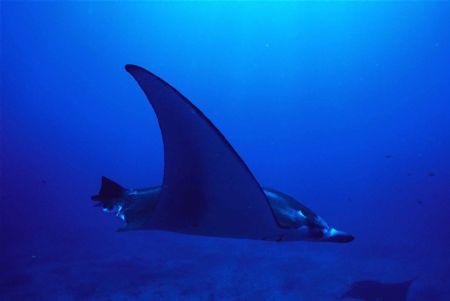 Flying Manta no tail by Sue Ferreira