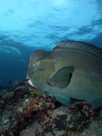 Bumphead parrotfish at cleaning station taken in Sipadan,... by Melvin Lee