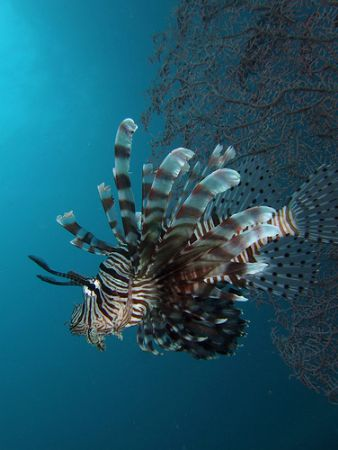 Lionfish in the blue. Taken in Sipadan, Sabah, Malaysia. ... by Melvin Lee