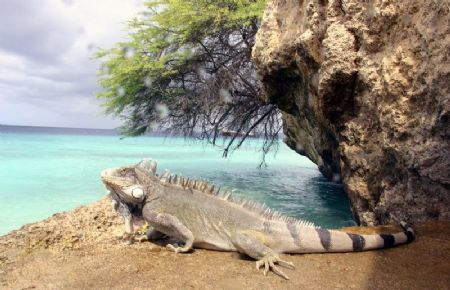 dock master - recognise it Brian? Marine Iguana by John M Akar