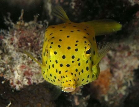 Blow me a kiss, Yellow box fish, Taken at Heron Is by Peter Simpson