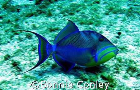 Queentriggerfish seen April 2007 at Isla Mujeres.  The ph... by Bonnie Conley