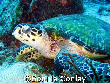 This was one of several turtles seen April 2007 in Playa ... by Bonnie Conley