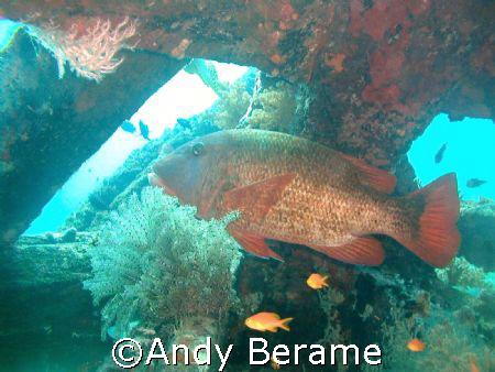 a red snapper at Talima Marine Sanctuary, Lapu-Lapu City,... by Andy Berame
