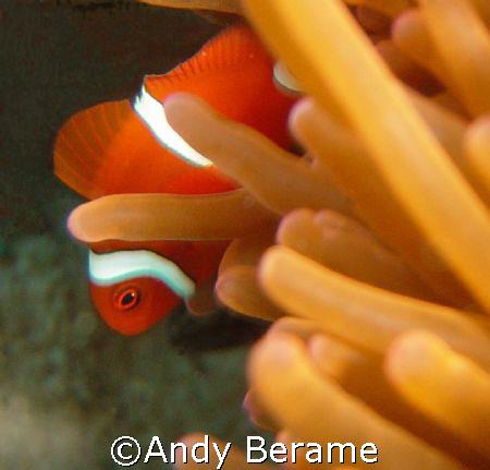 shy nemo @ dakit-dakit marine sanctuary, buyong, maribago... by Andy Berame