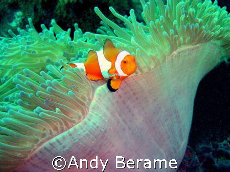 anemone fish @ dakit-dakit marine santuary, buyong, marib... by Andy Berame