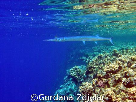 Needlefish in shallows by Gordana Zdjelar