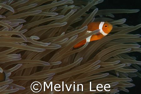 Nemo playing with current. by Melvin Lee