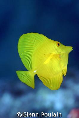 "A splash of yellow in a ""Sea of Blue"" by Glenn Poulain"