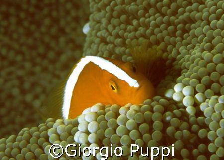 Clown Fish - Wakatobi by Giorgio Puppi